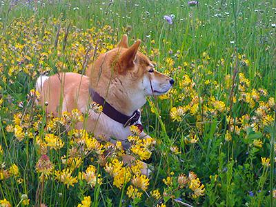 Shiba Inu in the meadow